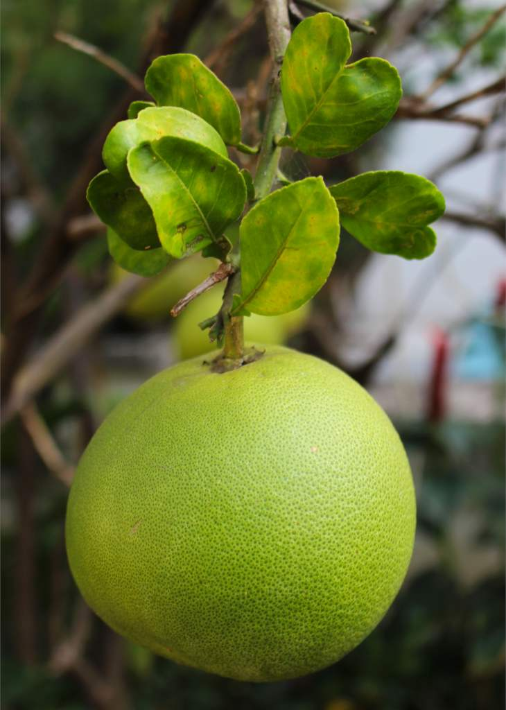 Pomelo or Grapefruit tree – advice on caring for it