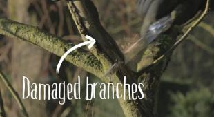 Apple and pear trees have damaged branches that must be removed.