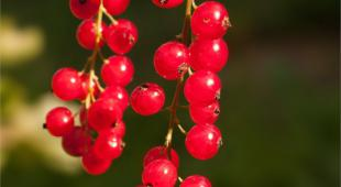 Long sprig of red currant with at least thirthy berries against dark green background.