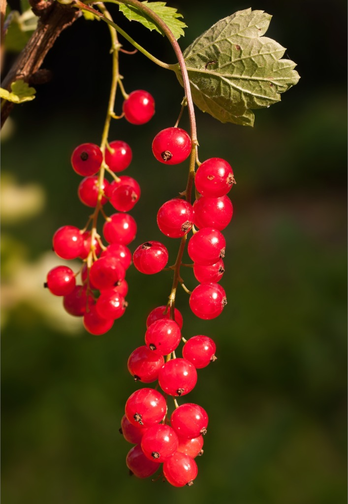 Currant and red currant bushes, growing delicious currants
