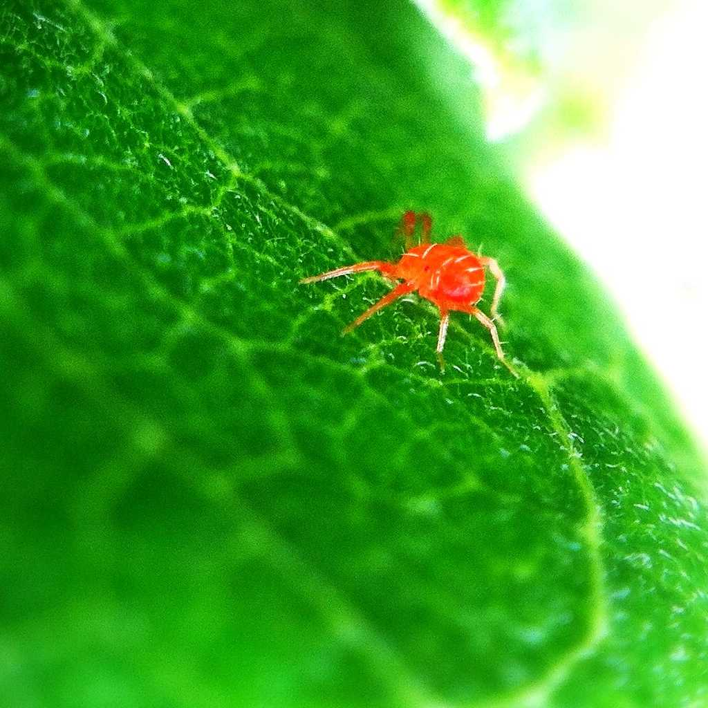 Tiny red spider mite on green leaf.