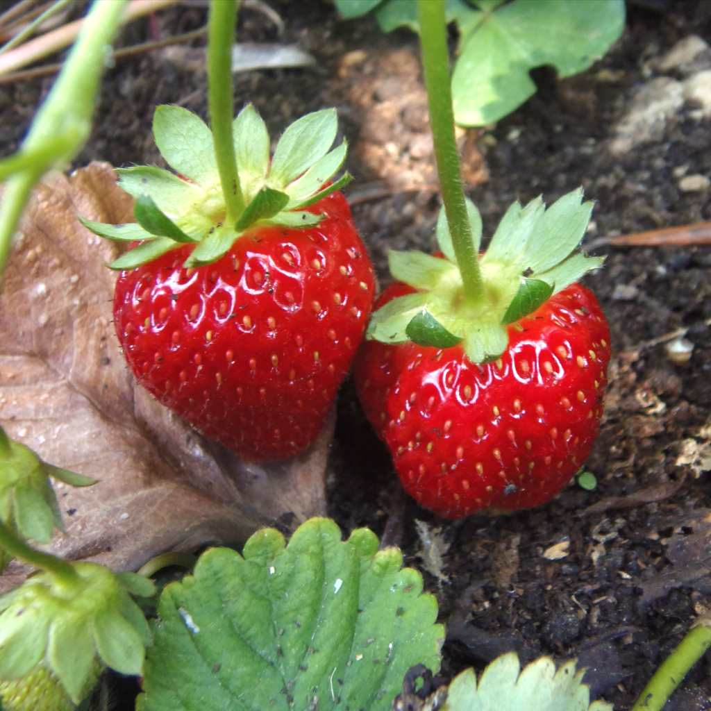 Two small but sweet-looking strawberries on a bush