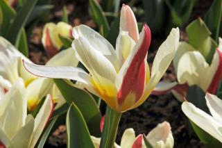 tulipe botanique