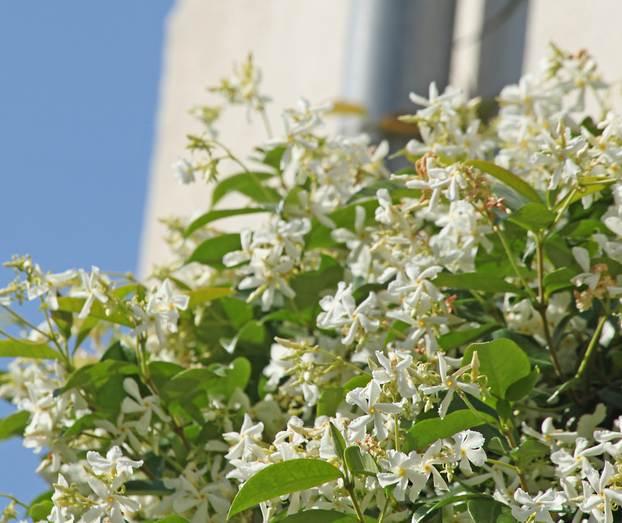 Trachelospermum Jasminoides Plantation Et Conseils D Entretien