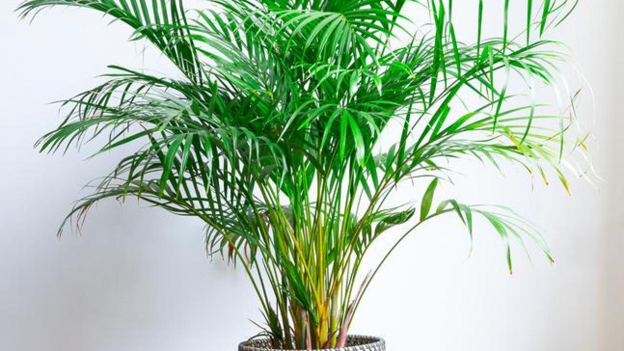 Comment Arroser Mes Plantes Pendant Les Vacances areca : exposition, arrosage et conseils d'entretien
