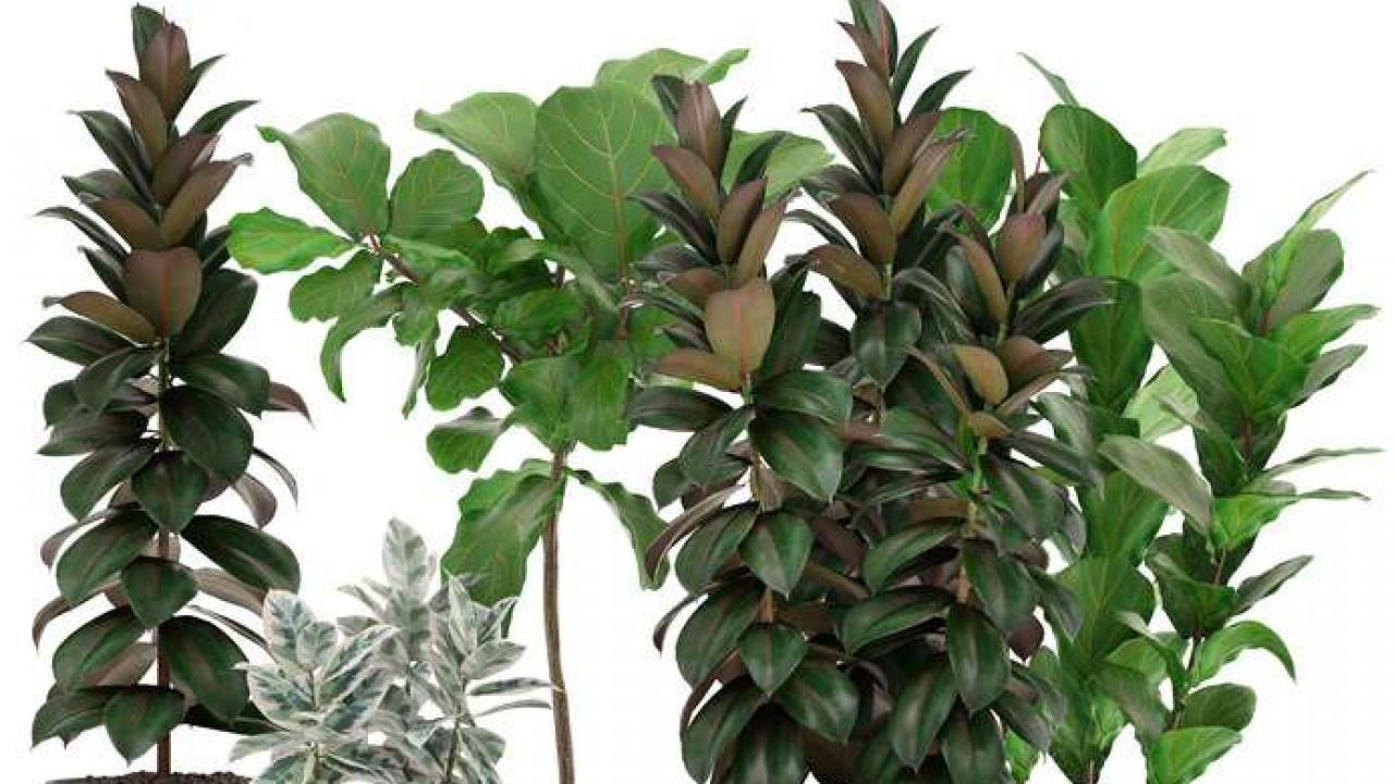 Plante Robuste Pour Terrasse caoutchouc : plantation, exposition, et conseils d'entretien