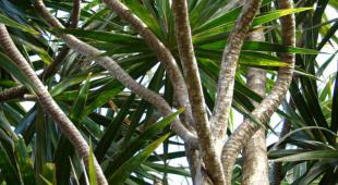 Stems weave in and out on a large dracaena marginata in the wild.