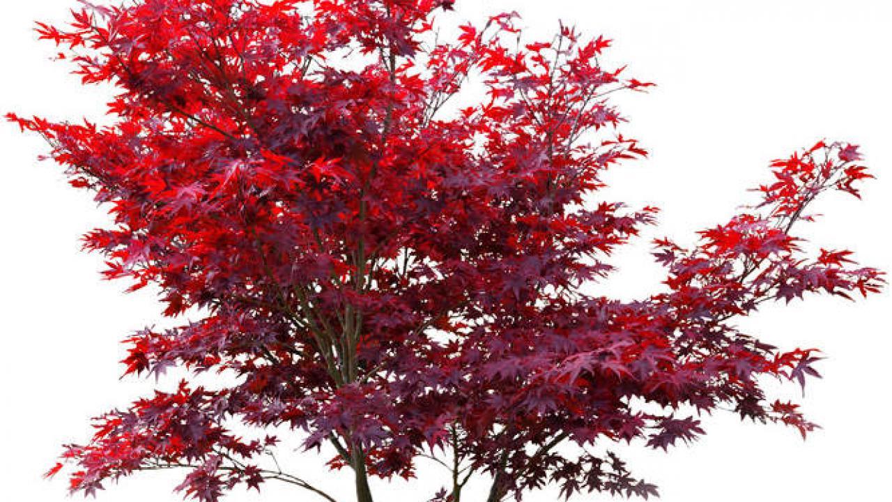 Erable Du Japon Petit erable japonais (acer palmatum) : plantation, taille et