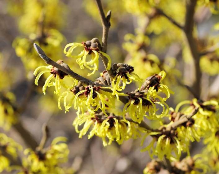 Hamamelis: planting, pruning, and advice on caring for it