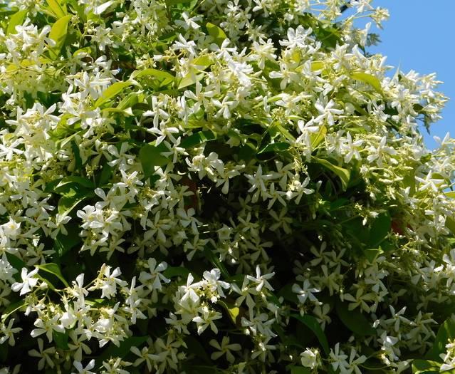 plante de jasmin exterieur
