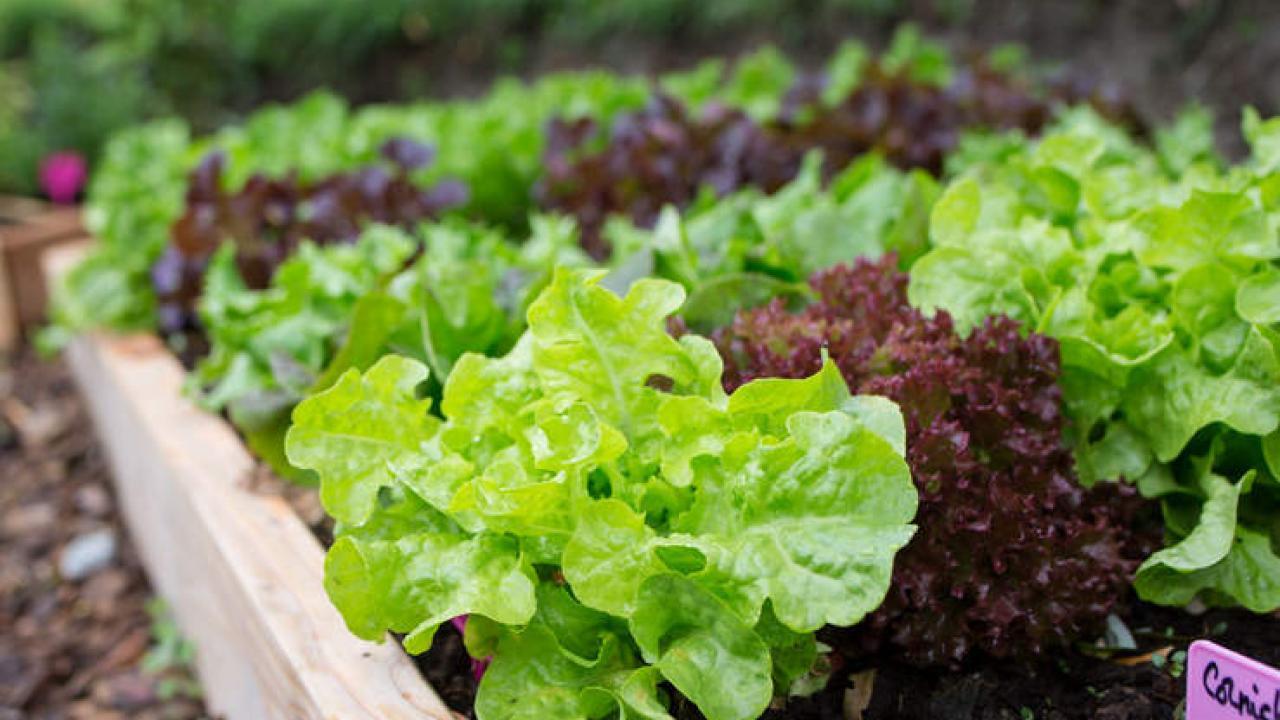 Que Planter En Octobre Sous Serre laitue : culture, semis, entretien et récolte de la laitue