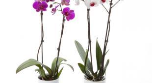 Orchidée : arrosage, exposition et conseils d\'entretien