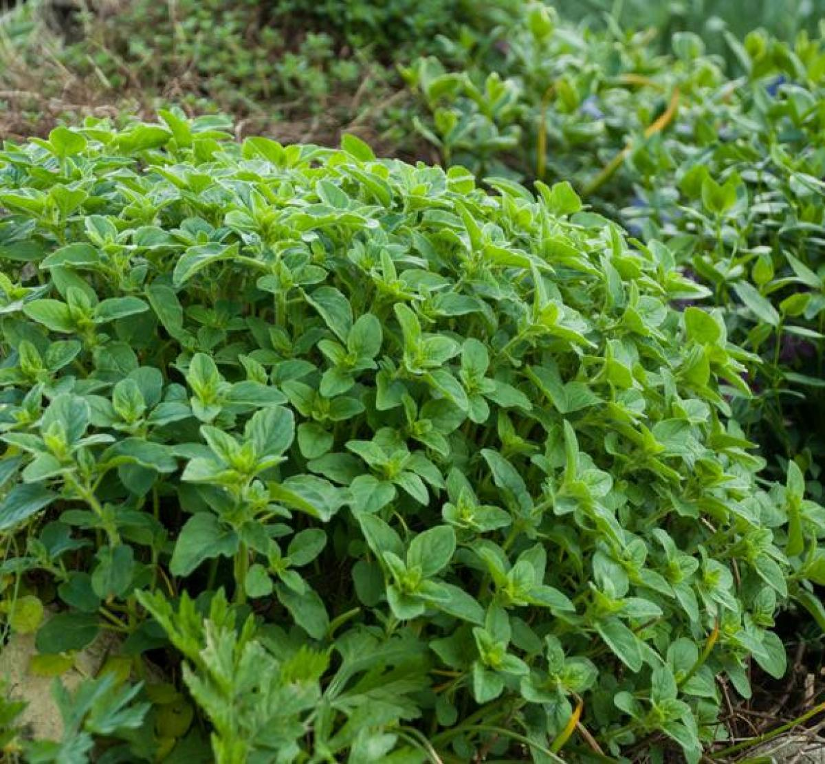 Oregano: planting, growing and advice on caring for it