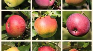 pommier et pommes