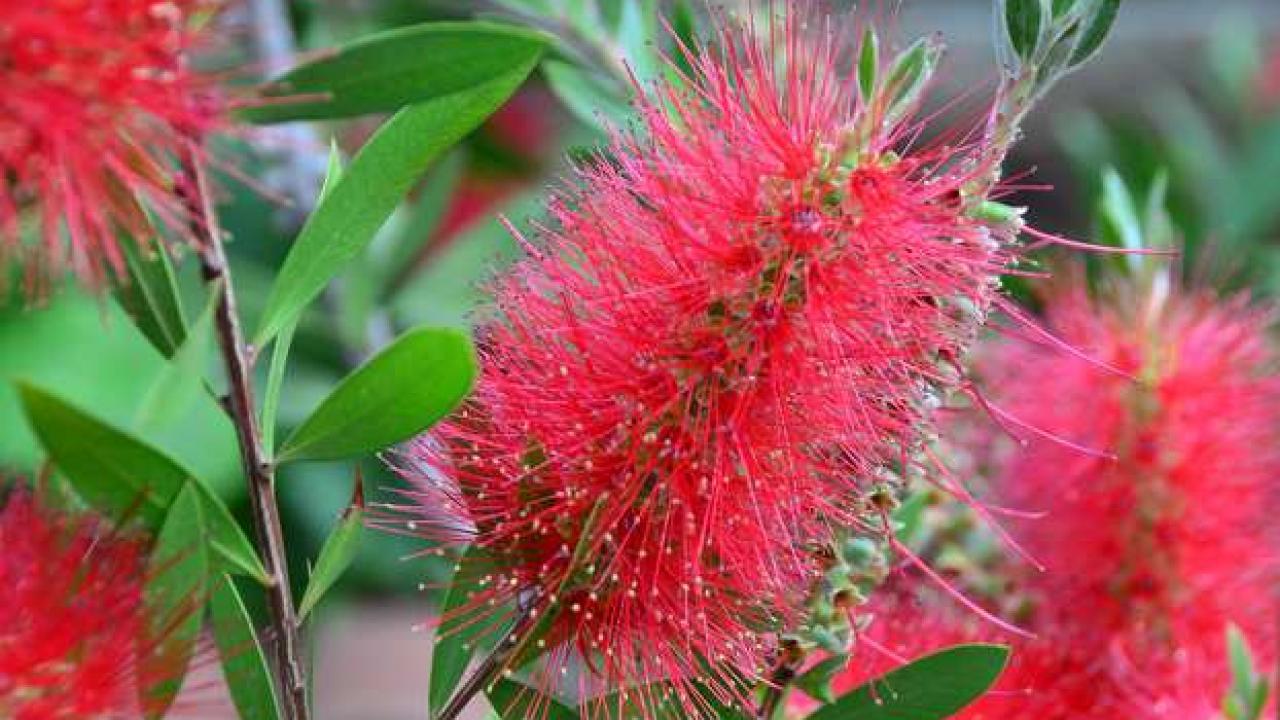 Arbuste Terrain Sec Ombre rince-bouteille : plantation, taille et conseils d'entretien