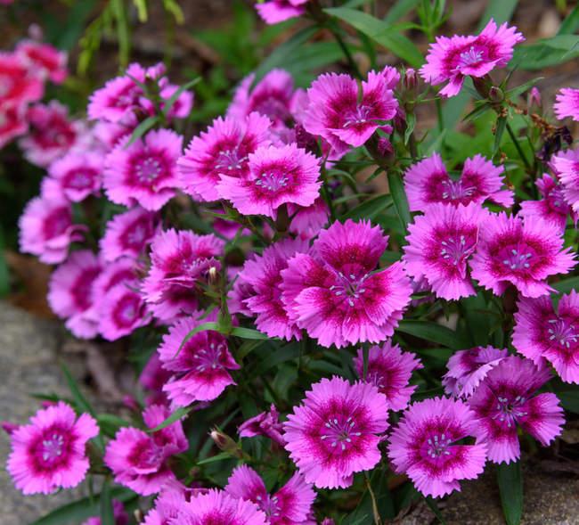Dianthus chinensis - oeillet de Chine