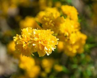 Kerria japonica - corete japon