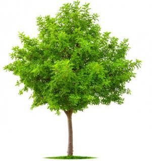 acacia boule Robinia pseudoacacia Umbraculifera