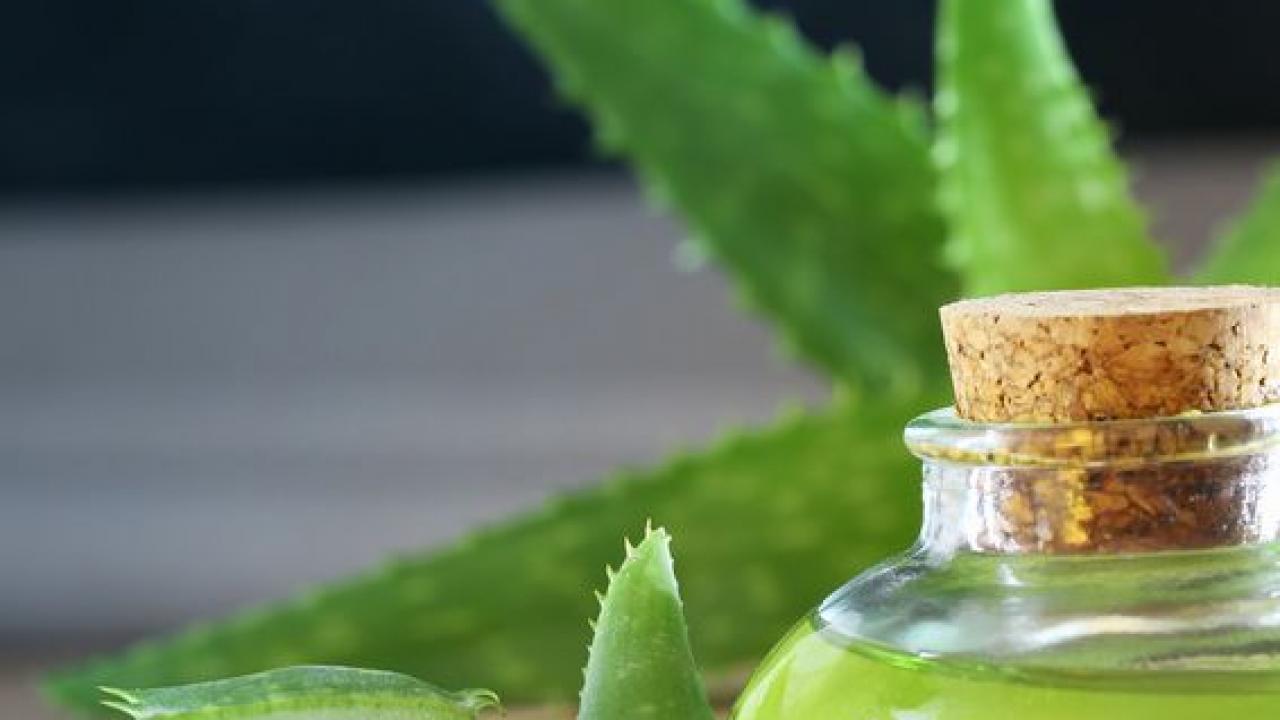Comment Entretenir Une Plante Aloe Vera aloé vera : culture, entretien et récolte du gel
