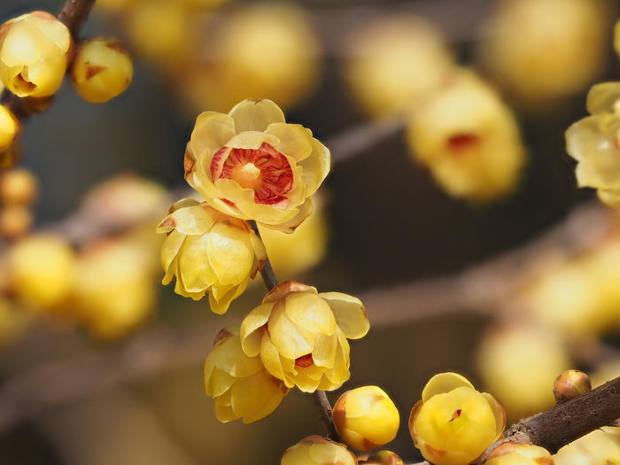 chimonanthe chimonanthus