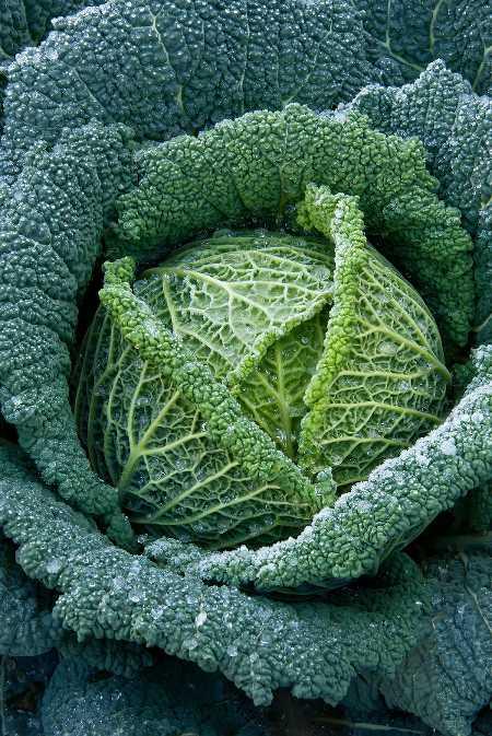 Tout savoir sur les choux d hiver culture et r colte en - Comment cuisiner un choux vert ...