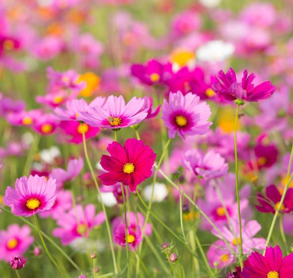 Cosmos  semis et entretien pour une belle floraison