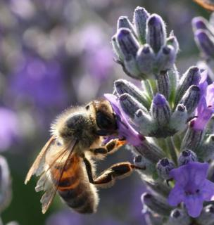 lavande mellifere abeille