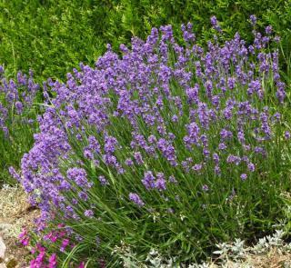 lavande plante mellifere