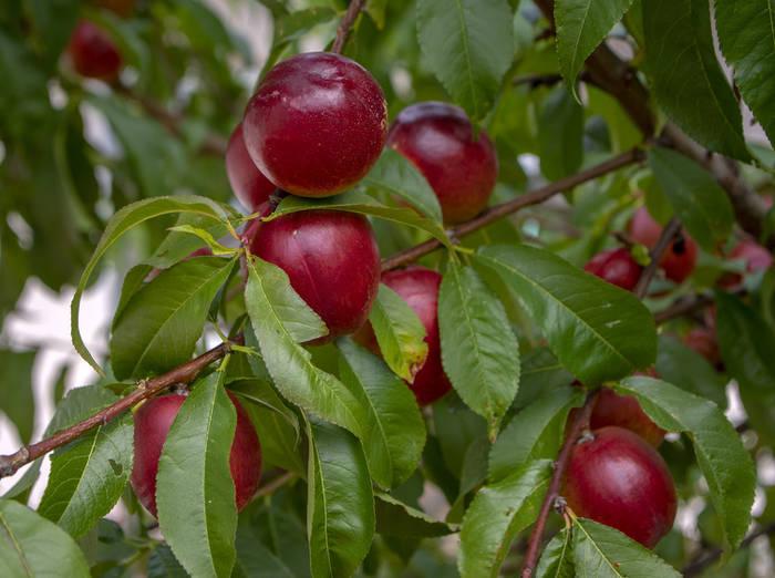 nectarinier