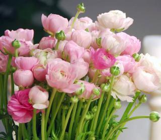 renoncule en fleur