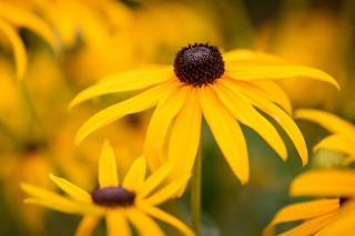 rudbeckia en fleur
