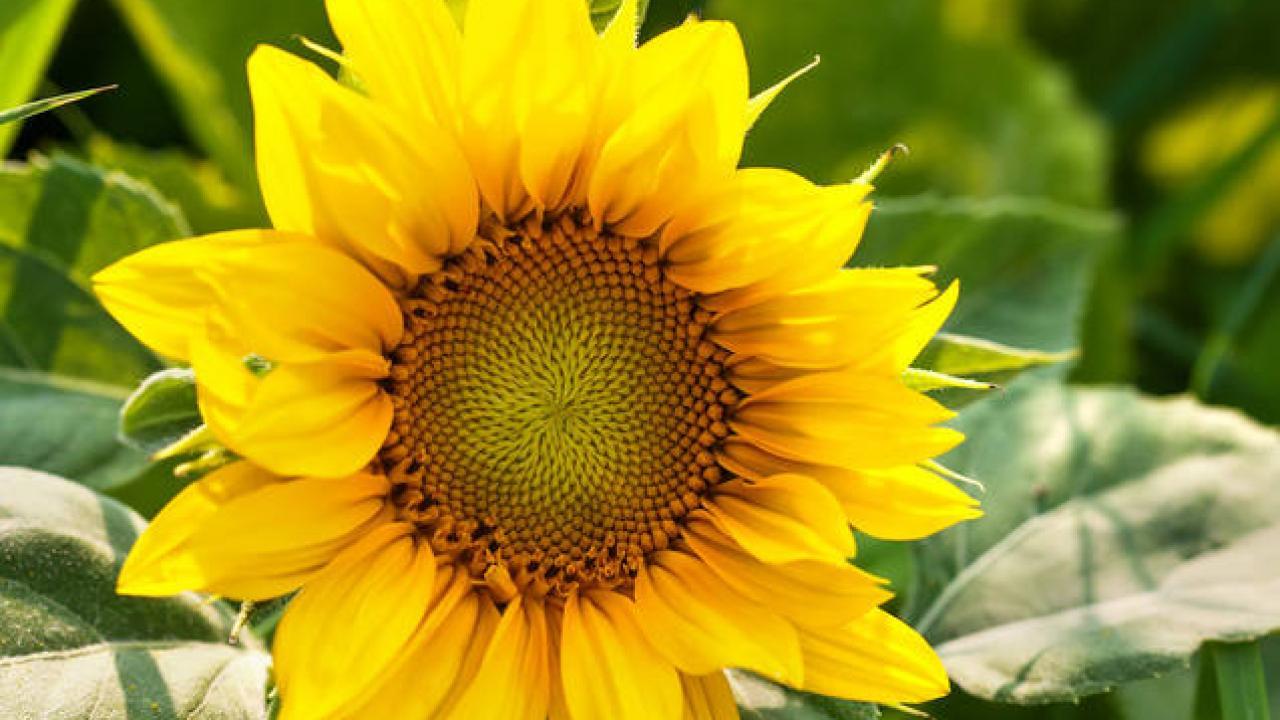 Graines De Fleurs Qui Poussent Très Vite tournesol : semis, plantation et conseils d'entretien