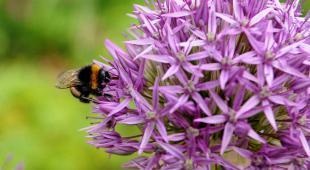 Ail d'ornement Allium aflatunense