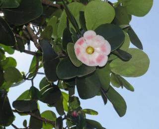 clusia rosea - clusier
