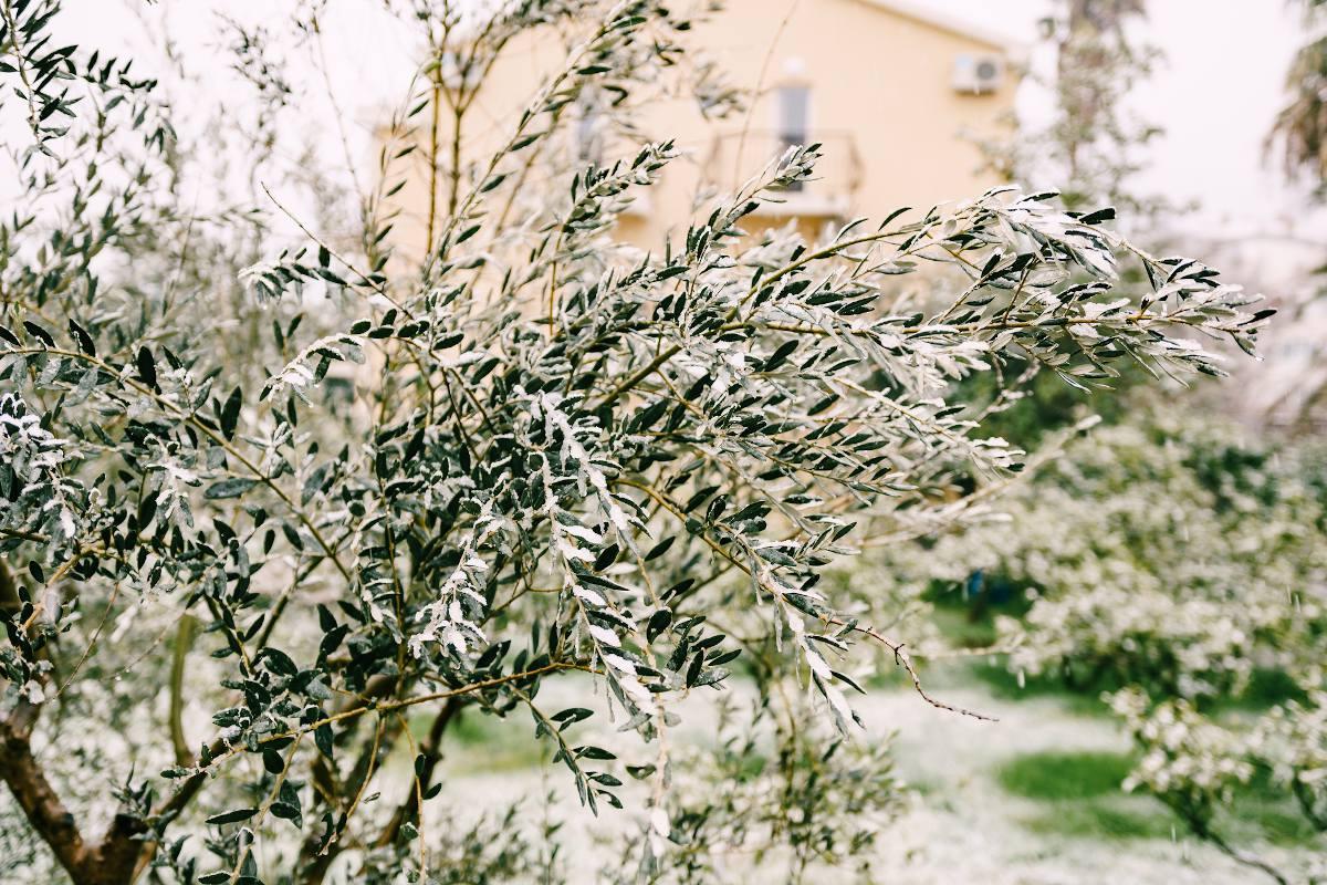 Olivier foid gel neige protection