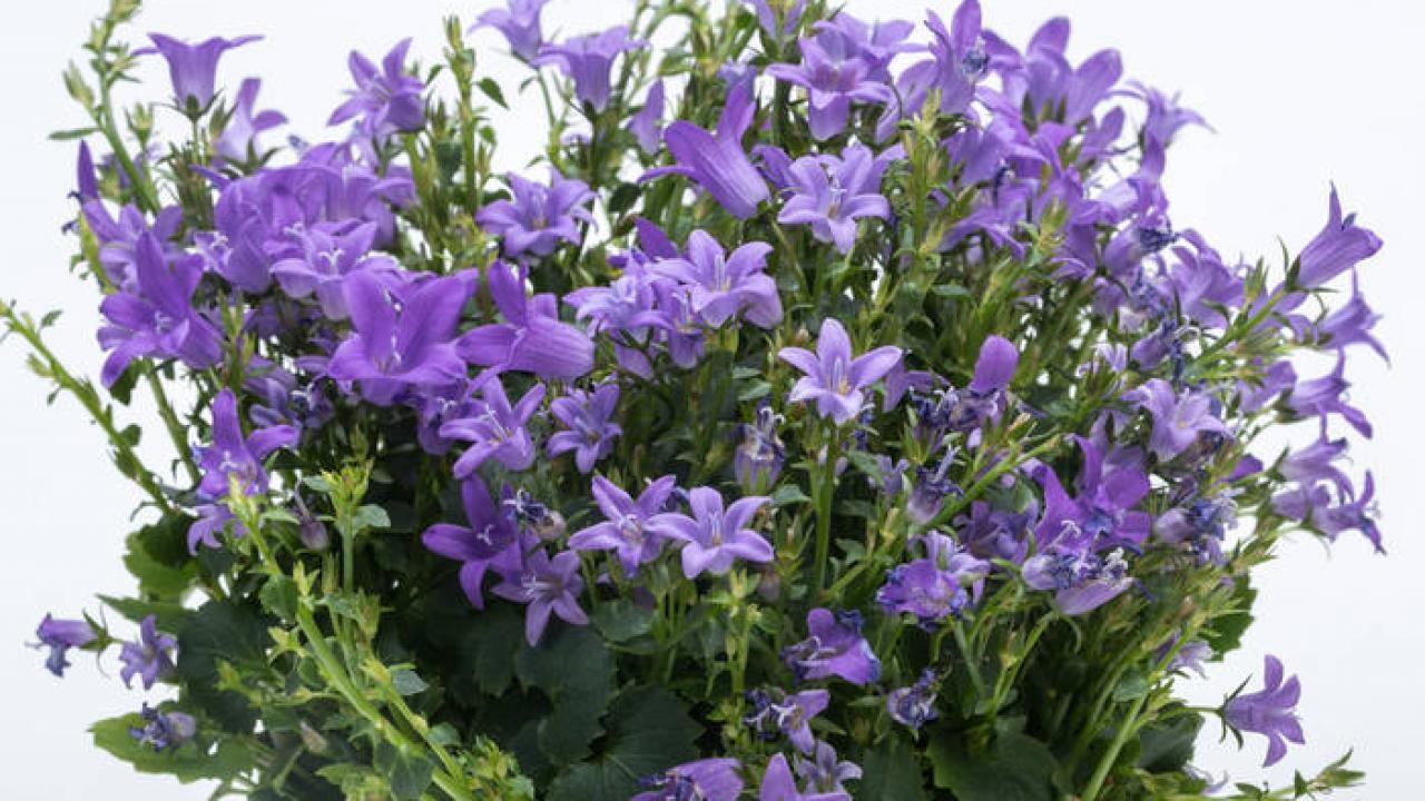 Plante Couvre Sol Soleil campanule : plantation, floraison et conseils d'entretien