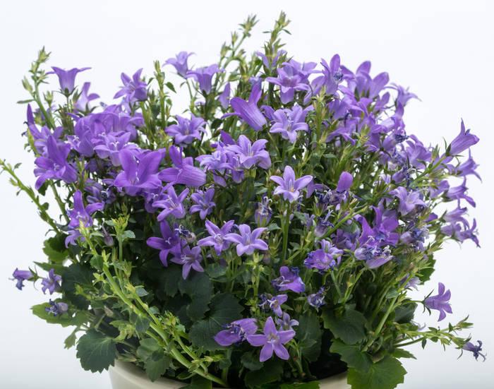 Campanule Plantation Floraison Et Conseils D Entretien