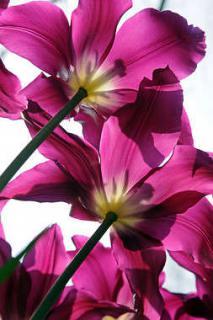 climat tulipe