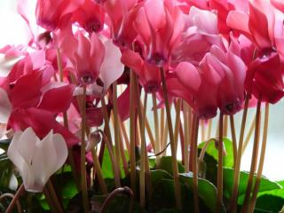 cyclamen exposition temperature