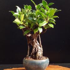 Ficus microcarpa, a bonsai for starters