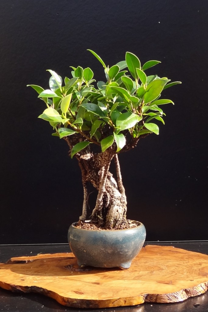 Ficus microcarpa, a bonsai for starters