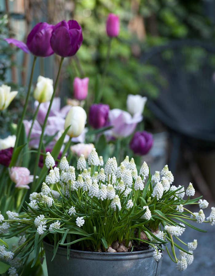 bulbes de printemps et d 39 hiver des fleurs pour chaque mois. Black Bedroom Furniture Sets. Home Design Ideas