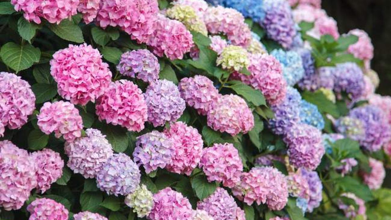 Quoi Planter Dans Une Terre Argileuse hortensia : plantation et entretien pour une belle floraison