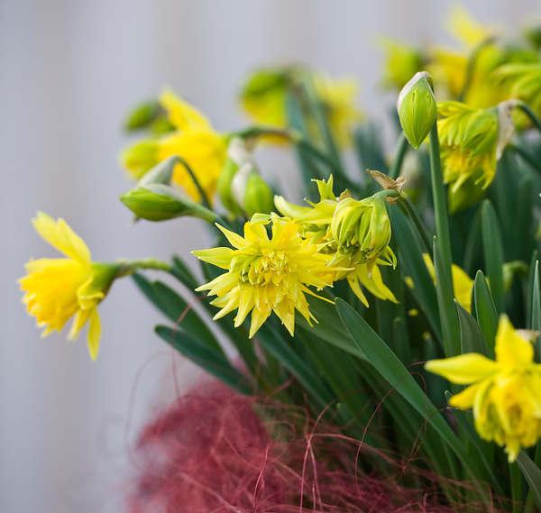 Bulbe A Fleur La Jonquille Ou Narcisse Double