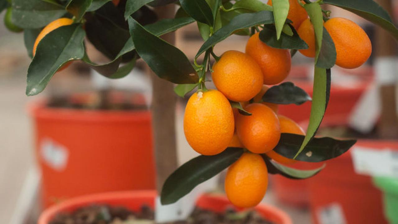 Arbre Fruitier En Pot Interieur kumquat : plantation, arrosage et conseils d'entretien