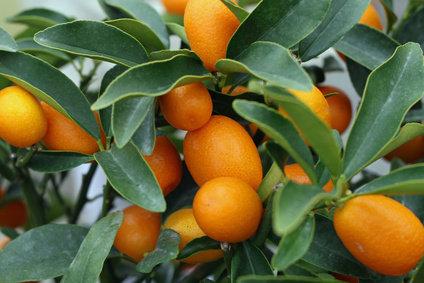 kumquat en pot