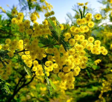 mimosa hiver
