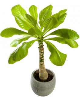 palmier hawaien - brighamia insignis