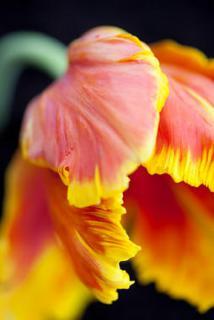 tulipe histoire