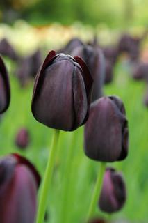 tulipe message